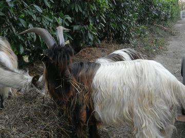 Demande: Foin de bonne qualité pour caprins